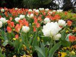 Comment réussir son jardin de tulipes ?