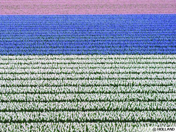 Champs de tulipes en Hollande