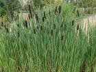 Massette à feuilles étroites, Typha angustifolia