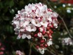 Viorne Bitchiu, Viburnum bitchiuense
