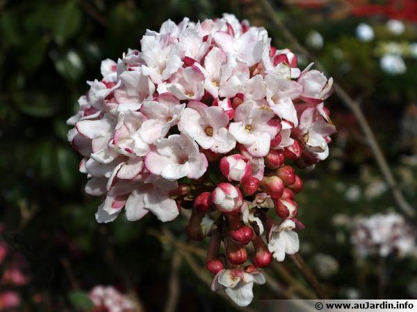 Viorne Bitchiu, Viburnum bitchiuense