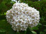 Viorne de Carlcephalum, Boule de neige odorante, Viburnum x carlcephalum