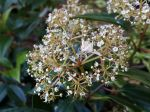 Viorne à feuilles de camphrier, Viburnum cinnamomifolium