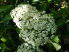 Viorne à larges panicules, Viorne à feuilles de tilleul, Viburnum dilatatum