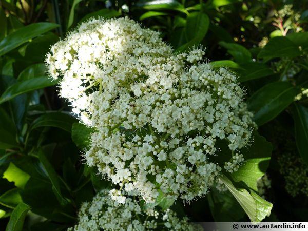Viorne à larges panicules, Viburnum dilatatum 'Erie'
