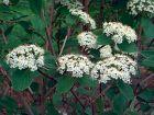 Viorne mansienne, Viorne cotonneuse, Viorne lantane, Viburnum lantana