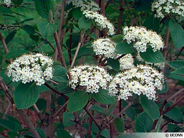 Viburnum lantana - fleurs