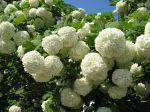 Boule de neige, Viorne obier, Viburnum opulus
