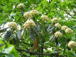Viorne ridée, Viburnum rhytidophyllum