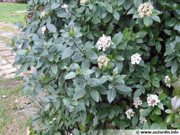 Laurier-tin, Viburnum tinus