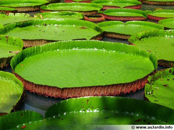 Feuille du nénuphar géant ou Victoria d'Amazonie aussi appelée moule à tartes