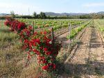 Pourquoi des rosiers au début des rangs de vignes?