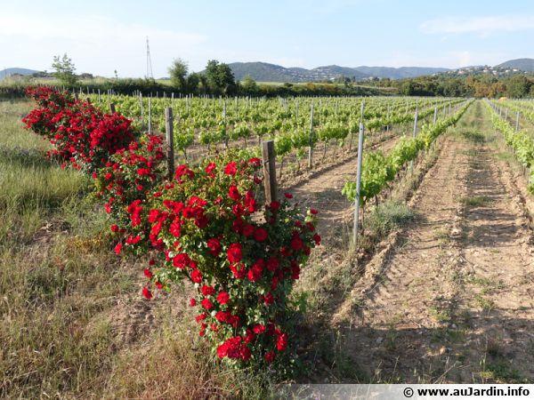 Des rosiers au début des rangs de vigne