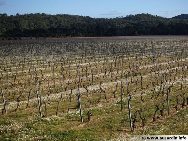 Vignoble bio dans le Var, des fleurs entre les rangs de vignes en février