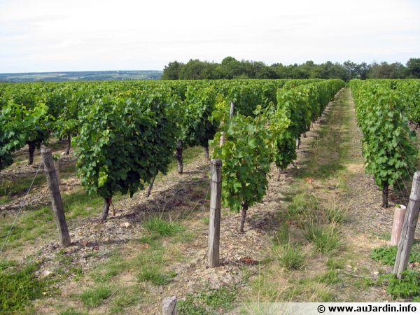 Thierry delaunay viticulteur en touraine - Il faut cultiver notre jardin analyse ...