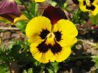 Les violas sont des plantes indispensables en hiver