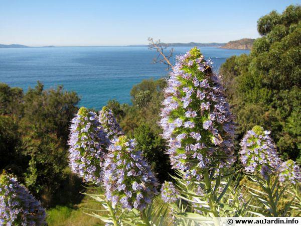 Des vipérines aux fleurs bleues