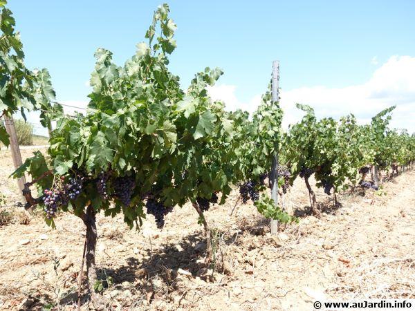 Culture du vin bio dans le sud de la France