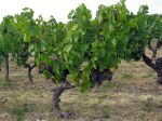 Vigne (Raisin), Vitis vinifera