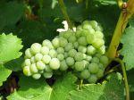 Une vigne à raisins au jardin