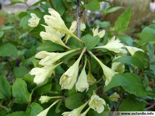 weig u00e9lia jaune  weigela subsessilis   planter  cultiver