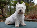 Le Westie, un chien affectueux