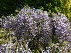 Glycine du Japon, Glycine floribonde, Wisteria floribunda