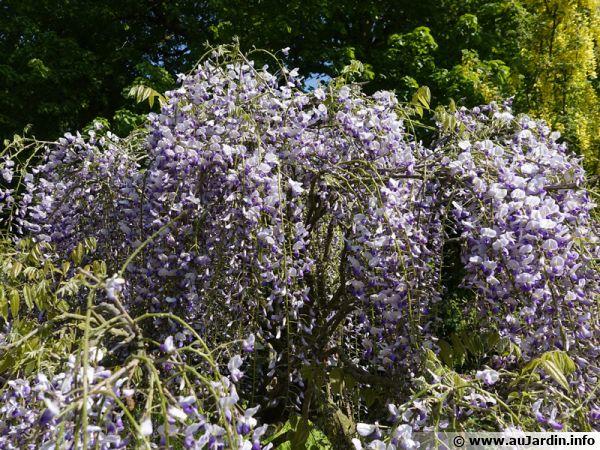 Glycine du Japon, Glycine floribonde, Wisteria floribunda 'Macrobotrys'