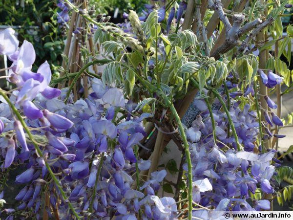 glycine du japon glycine floribonde wisteria floribunda. Black Bedroom Furniture Sets. Home Design Ideas
