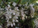 Glycine de Chine blanche, Wisteria sinensis 'Alba'