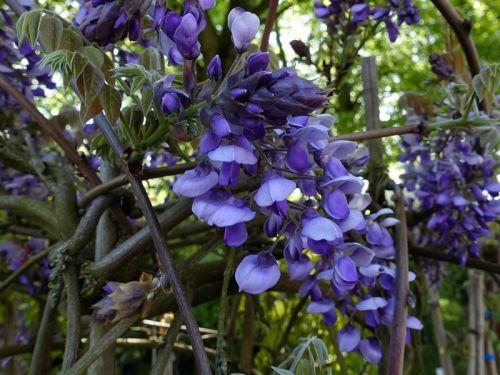 glycine gracieuse glycine soyeuse wisteria venusta cultiver. Black Bedroom Furniture Sets. Home Design Ideas