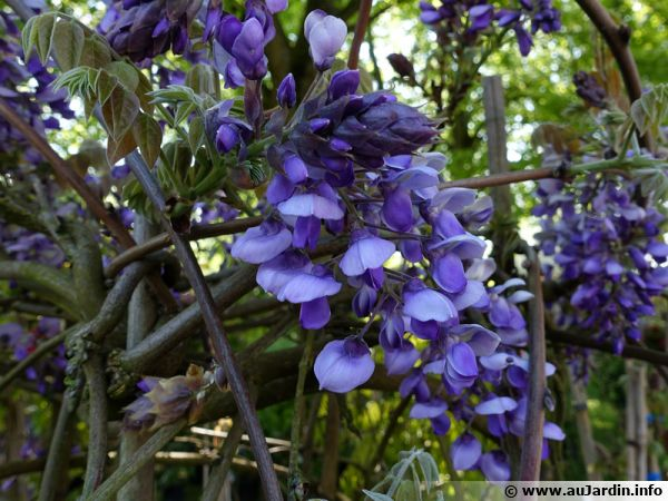 Glycine gracieuse, Glycine soyeuse, Wisteria venusta, variété aux fleurs mauves