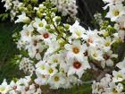 Xanthocéras, Xanthoceras sorbifolium
