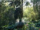 Arbre aux herbes, Black boy, Xanthorrhoea glauca