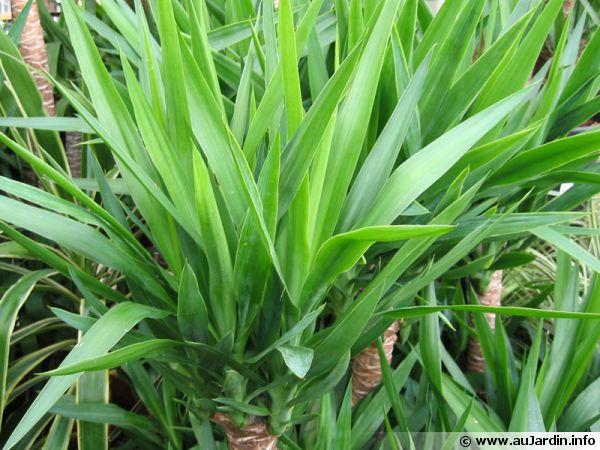 Le yucca vendu en jardinerie