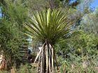 Yucca de Faxon, Yucca faxoniana