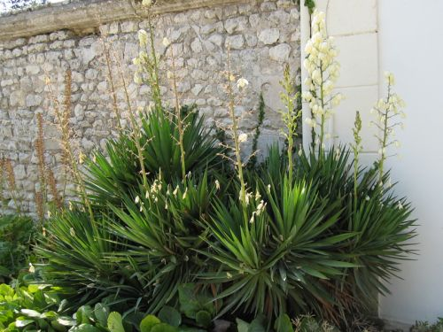 yucca superbe yucca gloriosa planter cultiver multiplier. Black Bedroom Furniture Sets. Home Design Ideas