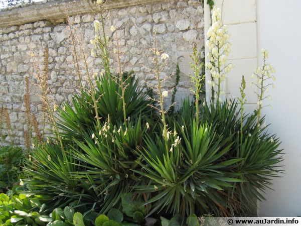 Yucca comestible the sabra fruit as national identity for Plante yucca