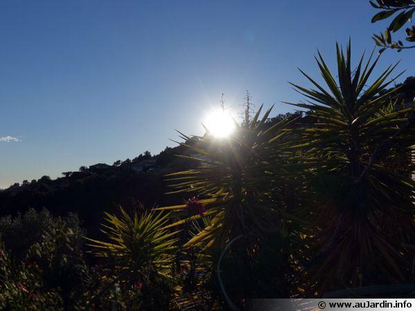 Le soleil est apprécié des yuccas elephantides pour une ambiance méditerranéenne
