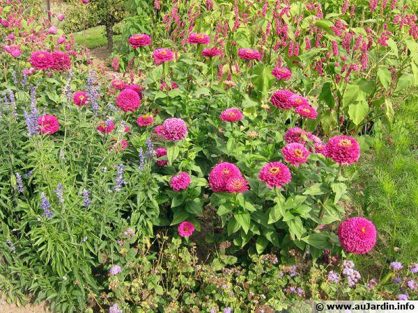 Le zinnia est une plante annuelle