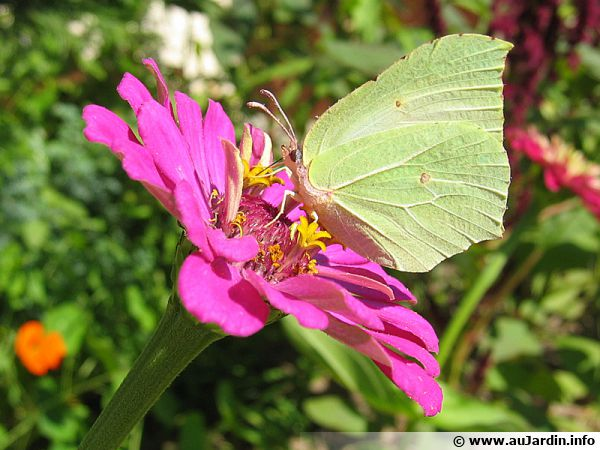 Le zinnia est une plante qui attire les papillons pour son nectar
