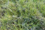 Gazon des Mascareignes, Zoysia tenuifolia