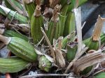 Le bouturage des orchidées à pseudo-bulbes