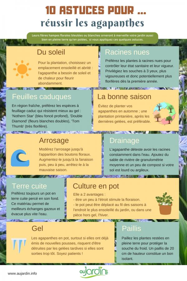 10 astuces pour réussir les agapanthes