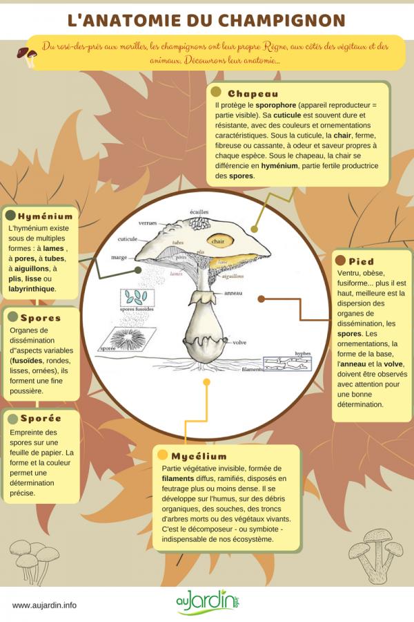 L'anatomie du champignon