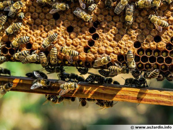 Des abeilles au travail sur un cadre...