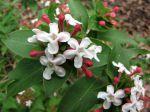 Abélia parfumé, Abelia mosanensis