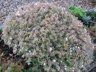 Abélie à grandes fleurs, Abelia x grandiflora