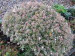 Abélie à grandes fleurs Confetti au feuillage panaché, Abelia x grandiflora 'Confetti'