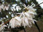Forsythia blanc de Corée, Abélie de Corée, Abeliophyllum distichum
